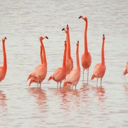 Save the Yucatecan Flamingos from Extinction