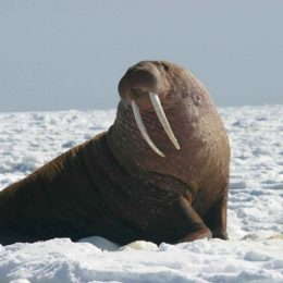 Protect Walruses Foraging in Alaskan Village