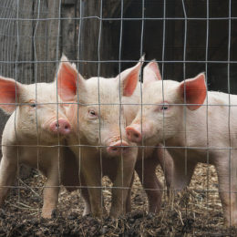Ban Cruel, Painful, and Unnecessary Castrations of Piglets