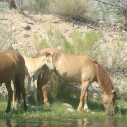 Applaud Protection of Wild Horses' Lives