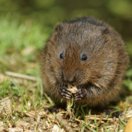 Revive Dying Water Vole Populations