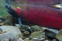Stop Toxic Runoff From Killing Coho Salmon in Puget Sound