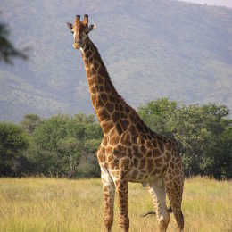 Stop Trophy Hunters from Hunting Giraffes to Extinction