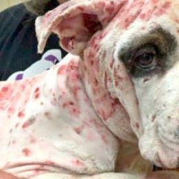 Justice for Pit Bull Used as Bait in Dog Fights