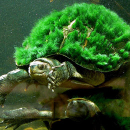 Save Endangered Green-Haired Turtle from Extinction
