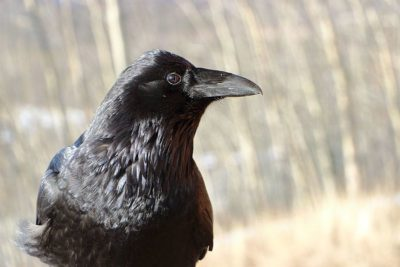 Don't Persecute Ravens in Barbaric Slaughter