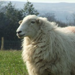 Justice for Thousands of Sheep Killed in Reported Barbaric Conditions