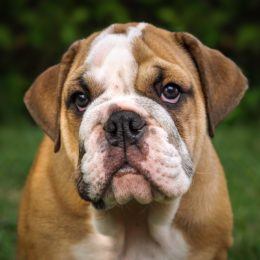 Two Sick Bulldogs Allegedly Denied Veterinary Care Deserve Justice