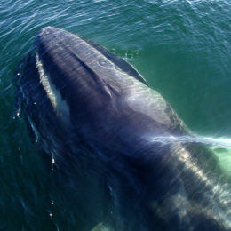 Do Not Resume Hunting Endangered Fin Whale