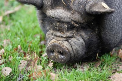 Push for Legal Reform After Pet Pig Reportedly Eaten by Owners