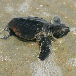 Protect Loggerhead Turtles from Microplastic Pollution