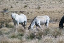 Success: Humane Solution Found for Controlling Wild Horse Population