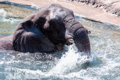 Stop Forcing Elephants to Swim Underwater for Tourists