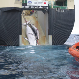 Denounce the Slaughter of Over One Hundred Pregnant Whales