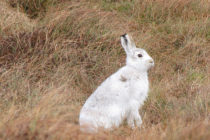Stop the Mass Slaughter of Thousands of Mountain Hares