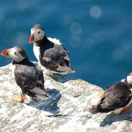 Save Britain's Puffin Population from Extinction
