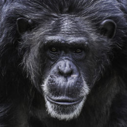 Relocate Former Research Chimpanzees to Sanctuaries