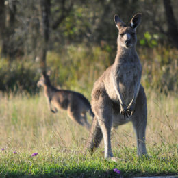 Stop the Barbaric Slaughter of Thousands of Kangaroos