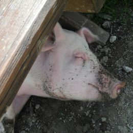 Punish Farmer Who Allegedly Performed Mass Execution of Pigs