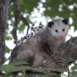Punish Teens Who Allegedly Killed Mother Possum and Her Babies