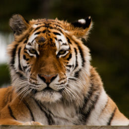 Return Tigers to the Wild