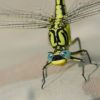 Protect Endangered Dragonfly from Extinction