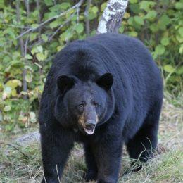 Stop Cruel, Illegal Killing of Black Bears