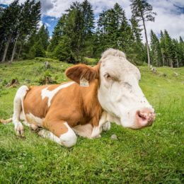 Justice for Dairy Cows Allegedly Beaten With Steel Pipes