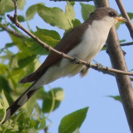 Protect Rare Cuckoo Bird from Extinction