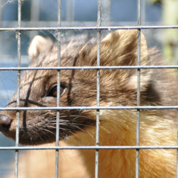 Protect Threatened Martens From Extinction