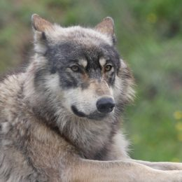Save America's Wolves: Do Not Remove Their Endangered Species Protections