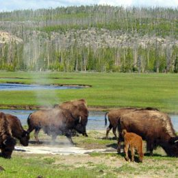 Do Not Allow Yellowstone Bison to be Slaughtered