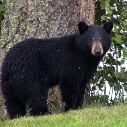 Success: No More Permits Issued for Cruel Black Bear Killings