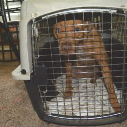 Punish Person Who Allegedly Bred and Trained Eleven Pit Bulls for Dog Fighting