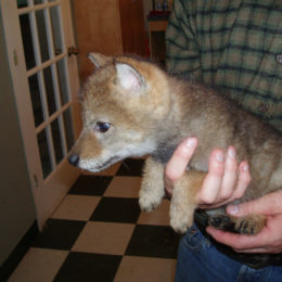Justice for Baby Coyote Allegedly Drowned by Wildlife Control Officer