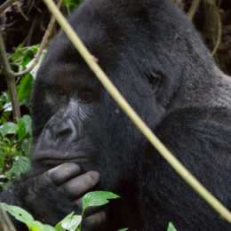 Don't Allow Oil Companies to Drive Gorillas to Extinction
