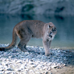 Stop Hunters From Killing Off Yellowstone's Mountain Lions