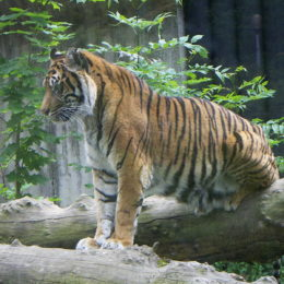 Punish Men Accused of Illegally Smuggling and Slaughtering Tigers