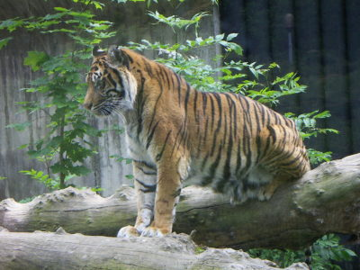 Punish Illegal Smugglers Allegedly Responsible for Running Tiger Slaughterhouse