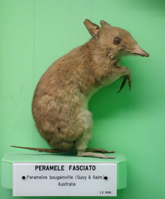 Protect Sole Remaining Bandicoot Species from Extinction
