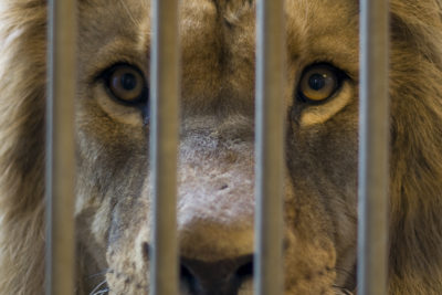 Ban the Inhumane Ownership of Big Cats