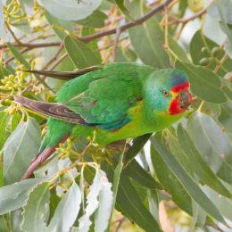Don't Bulldoze Endangered Parrot Habitat