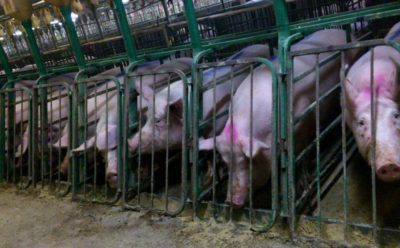 Factory Farm - Mercy for Animals Canada